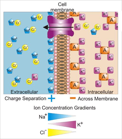 Basis of Membrane Potential