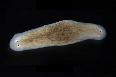 Rewiring Bioelectric Patterns with a Two-headed flatworm